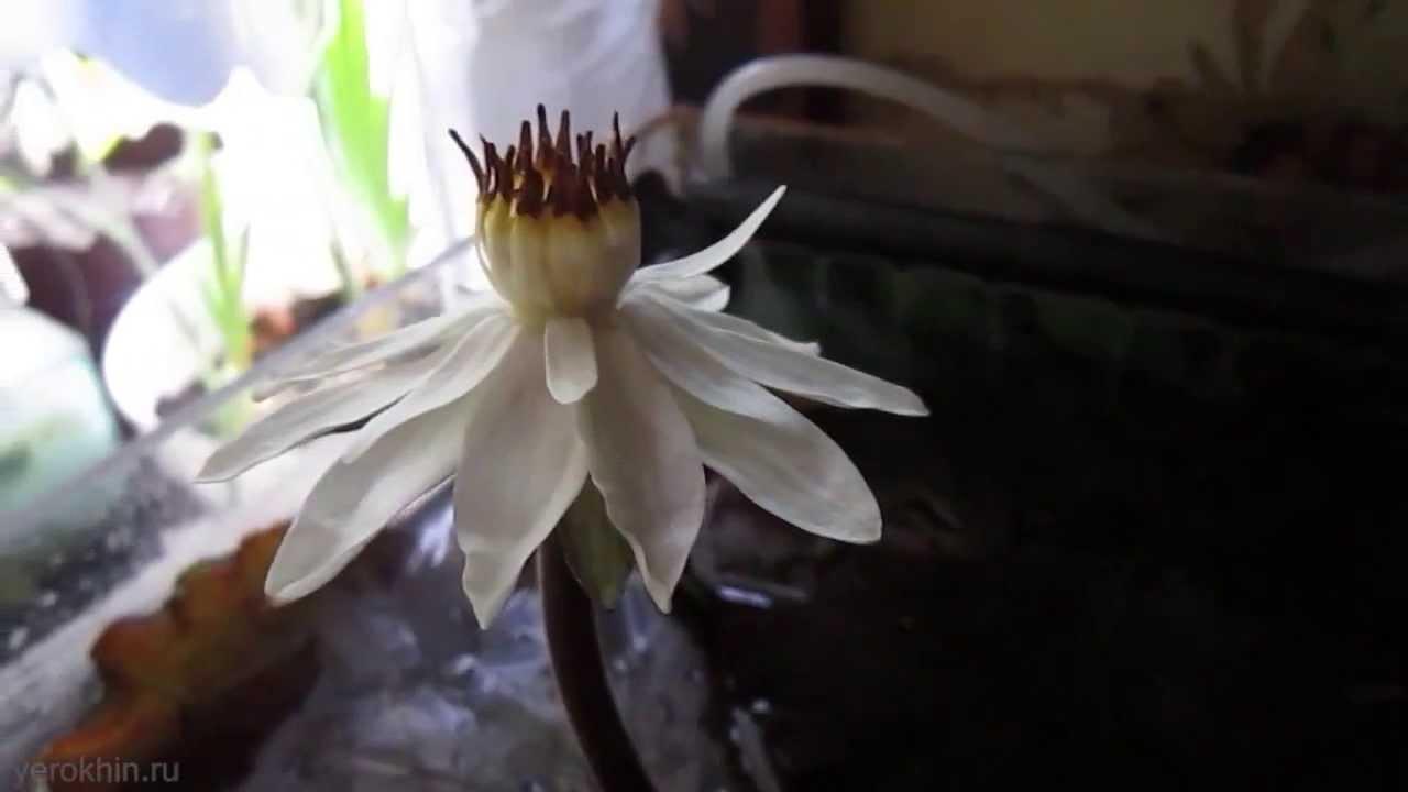 Lotus in the aquarium - Nymphaea lotus Red - лотос в аквариуме