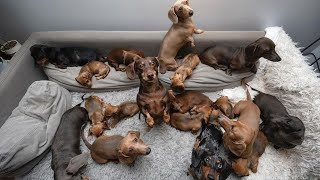 Funny Mini Dachshund dogs world,Breeding And Living with Dachshund | Funny wiener dogs Videos  2021