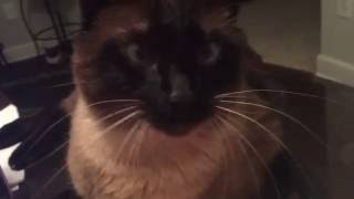 Кошки - одни из самых удивительных животных на Земле. =^..^= СИАМСКИЕ КОШКИ