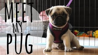 Meet My Pug Puppy ♡ | Vlog