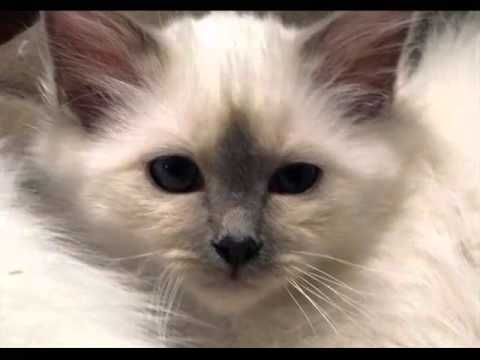 Birman Seal Point | Set Of Cat Picture Collection