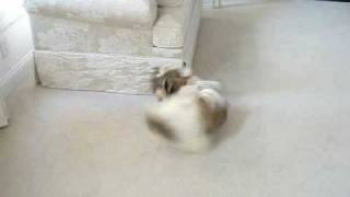 Shih Tzu Puppy Lacey Running Around Like A Nut And Chasing Tail