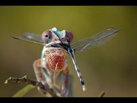 Amazing #Lizard eating #dragonfly......