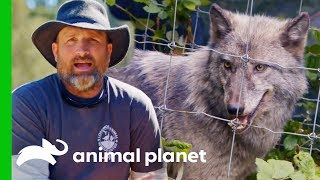 Carefully Capturing A Wolf To Move Her To A New Home | Wolves and Warriors