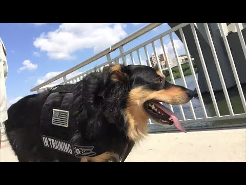 Zoey; English Shepherd; Best Knoxville Dog Trainers; Board and Train