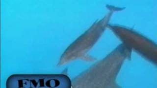 Bottlenose dolphin Behaviour - FIN MOUNT