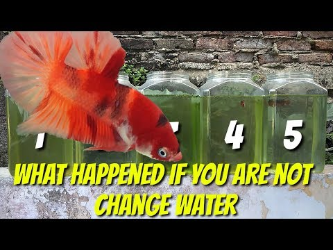 Betta Care - What Happened If You Dont Change Water