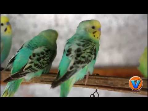 LOVE BIRDS ORIGINAL SOUND HD VIDEO