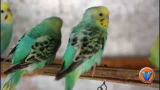 LOVE BIRDS ORIGINAL SOUND HD VIDEO