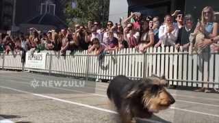 Dachshunds Race To Be Top Sausage Dog | Newzulu