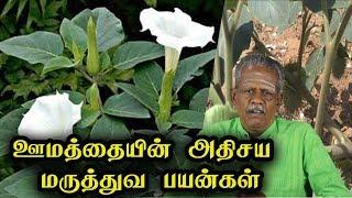 ஊமத்தையின் அதிசய மருத்துவ பயன்கள் | Datura Metel Health Benefits in Tamil