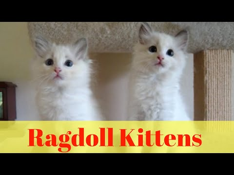 Ragdoll Kittens - Sweet and fluffy Ragdoll kittens
