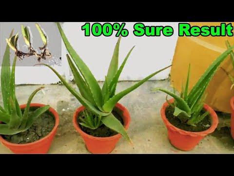 Aloe vera asexual reproduction