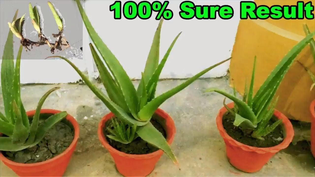 how to grow aloe vera at home easiest way youtube. Black Bedroom Furniture Sets. Home Design Ideas
