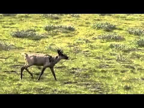 Caribou on the Ram Plateau, Nahanni National Park, NWT [HD].mp4