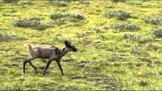 Caribou on the Ram Plateau, Nahanni National Park, NWT [HD].mp4