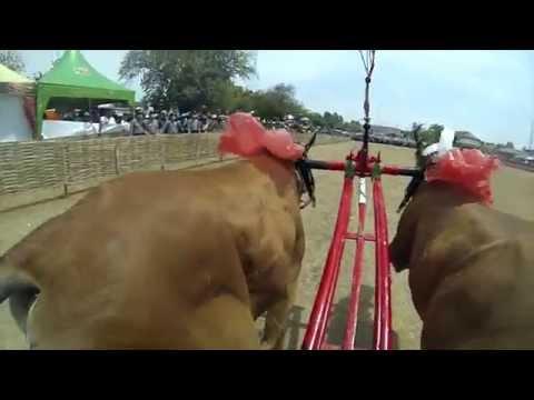 Karapan Sapi Indonesian Bull Racing Championships