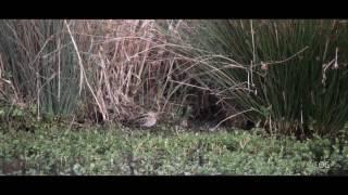 Download Bécassine des marais - Gallinago gallinago - Common Snipe