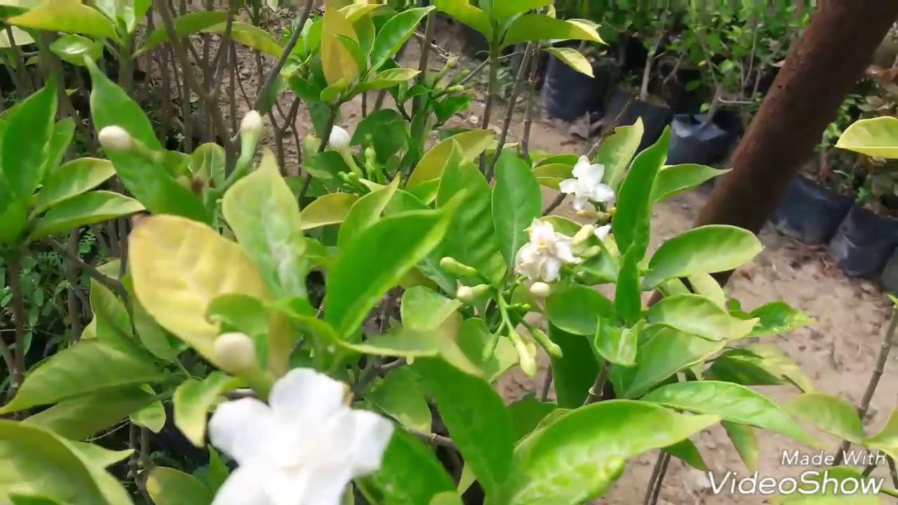 How To Care Jasmine Chandni Flower Plant Hindi Youtube