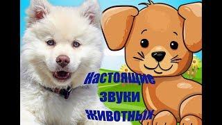 Развивающие мультики для детей / ЗВУКИ ЖИВОТНЫХ ДЛЯ МАЛЫШЕЙ/ Как говорят животные
