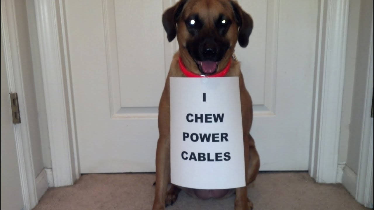 Dog Eating Power Cord