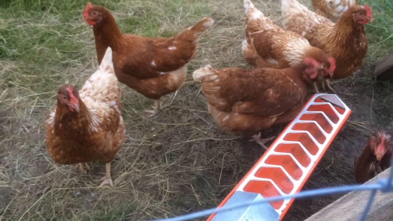 Automatische Hühner Geflügel Tränke - YouTube