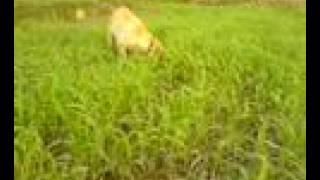 Labrador Pup (gundog) Upland Bird Hunting Training Pakistan
