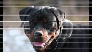 """Rottweiler Vs Doberman  """"duelo Germano"""" #definiciones"""
