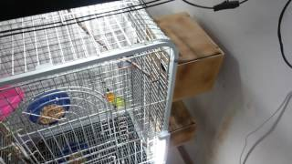 Попугаи неразлучники и не только