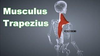 M. Trapezius Rautenmuskel: Ansatz, Ursprung, Funktion, Körperübung, Dehnungsübung B-Lizenz Prüfung