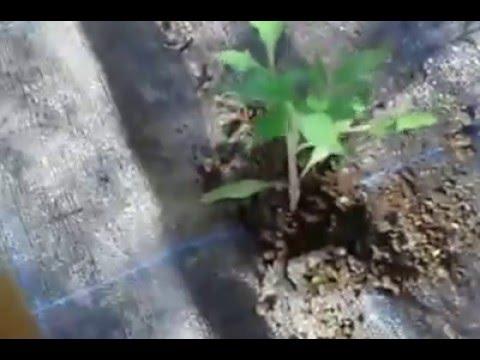 como plantar el tomate negro