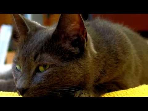 Порода кошек .Корат. Одна из самых древнейших пород кошек.Приносит счастье и благополучие.