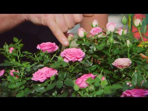 Cuidados De La Rosa De Pitiminí O Rosal Mini - Bricomanía - Jardinatis