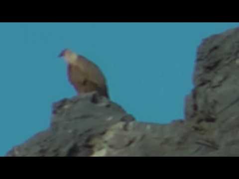Griffon Vultures in Eastern Crete