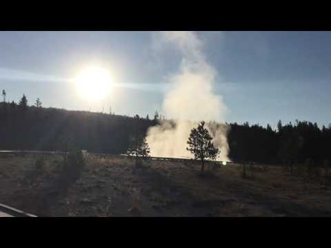 Coyote howling at Yellowstone National Park