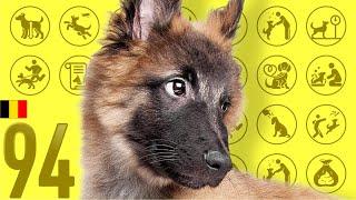 Belgian Shepherd Dog Tervueren❤Cute and Funny Dog breed videos