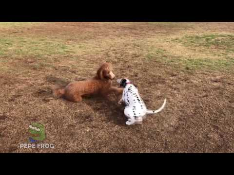 TOP 8 Funny Dalmatian Compilation