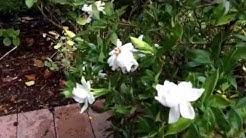 Gardenia radicans / Gardenia prostrata