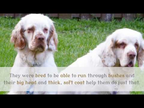 14 Interesting Things You Should Know About Clumber Spaniel