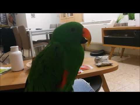 Реакция попугая эклектуса на щекотку