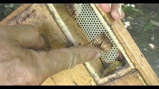 как выводить пчелиных маток? Обзор клетки - изолятора для вывода маток