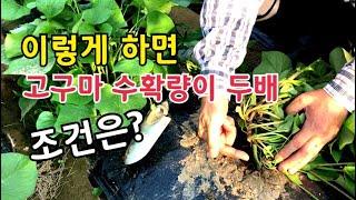 고구마 2배 수확 가능한 조건은?