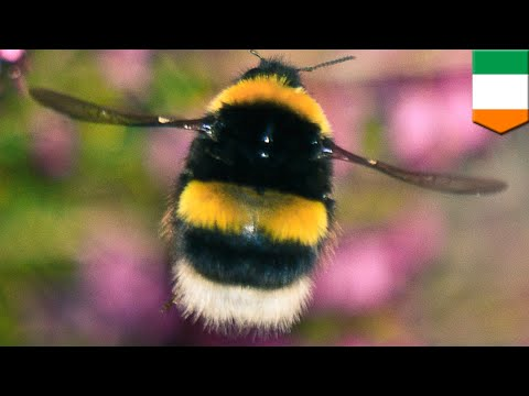 Bumble bee apocalypse: Third of bees wiped out in Ireland - TomoNews