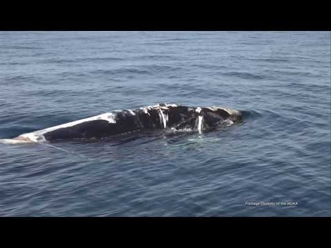 The North Atlantic Right Whale (Youth)