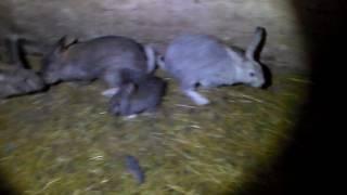 А если в норе сдохнет кролик?Или видео ответ  на вопрос ,как достать дохлого кролика из норы.