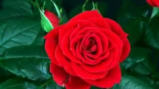 Güzel güller video