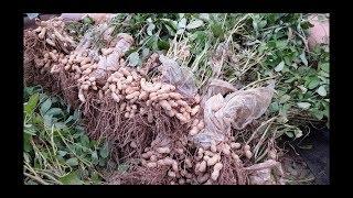 땅콩수확 모종 및 땅콩알 직파 심는방법 미량성분보충