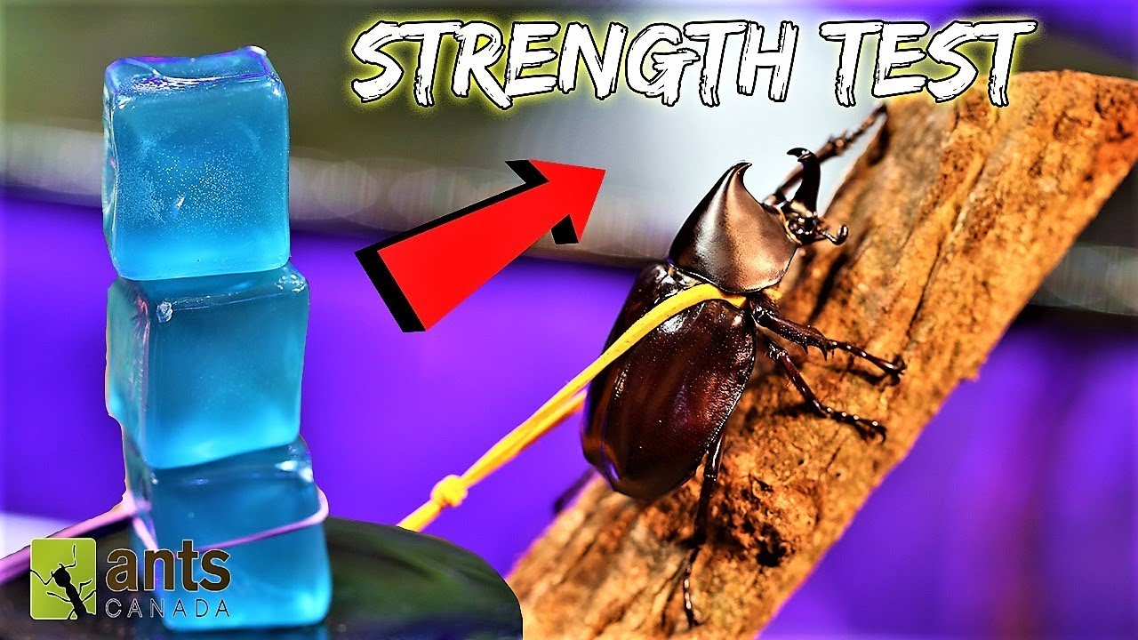 BEETLE STRENGTH TEST: The Rhino Beetle Games (Round Two)