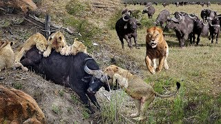 Ulitimate Fight To Survival Of Animals Planet 2019 | Crazy Battle of Buffalo attack Lions