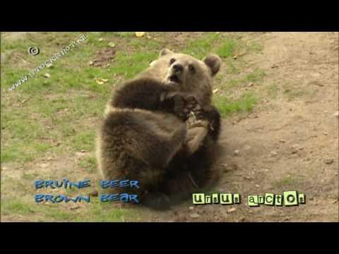 brown bear playtime - bruine beer - ursus arctos